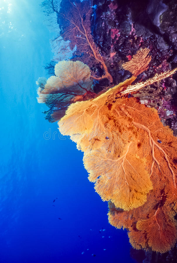 Gorgonian. Alcyonacea is an order of sessile colonial cnidarians stock photo