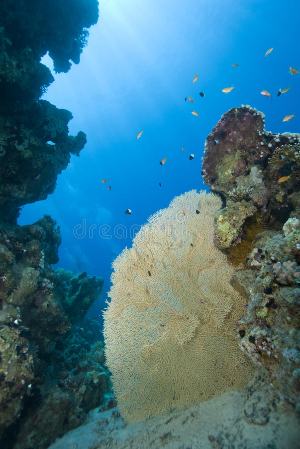 Gorgonian fan coral on a tropical coral reef. royalty free stock image