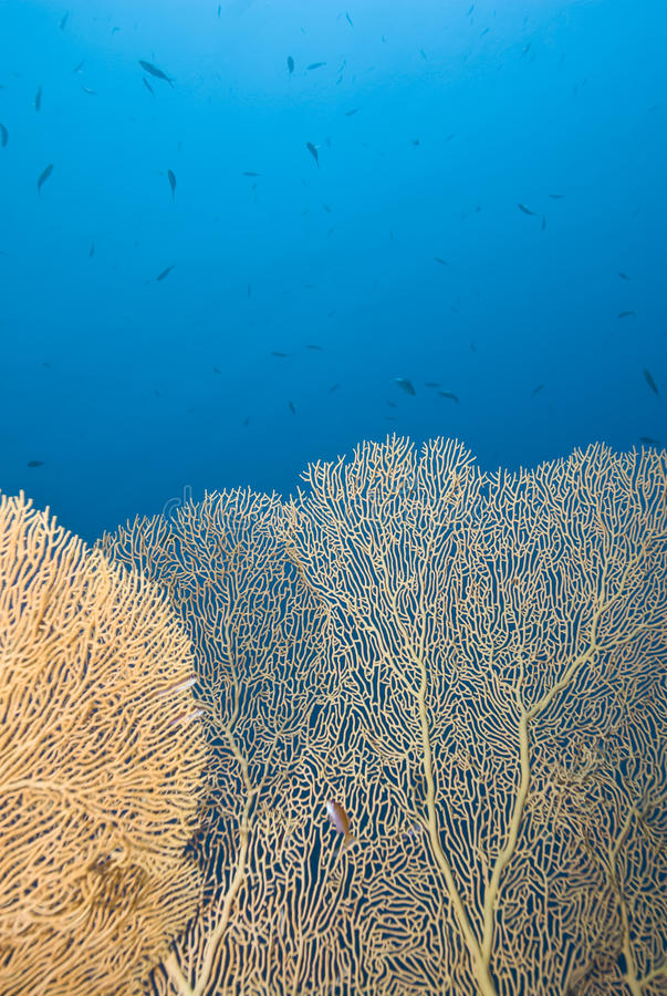 Free Gorgonian Fan Coral With Blue Background. Stock Photos - 16203543