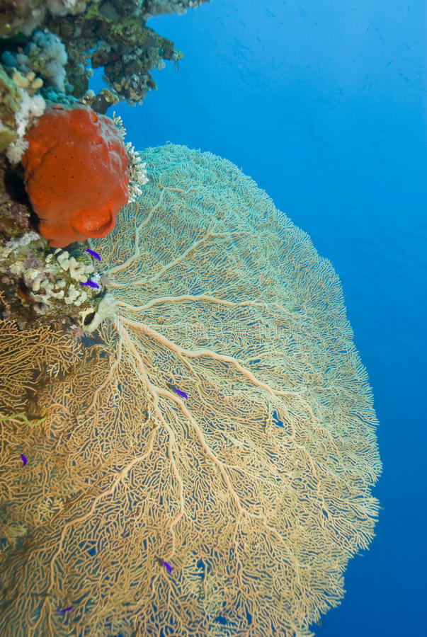 Free Gorgonian Fan Coral With Red Sponge. Royalty Free Stock Images - 16229689