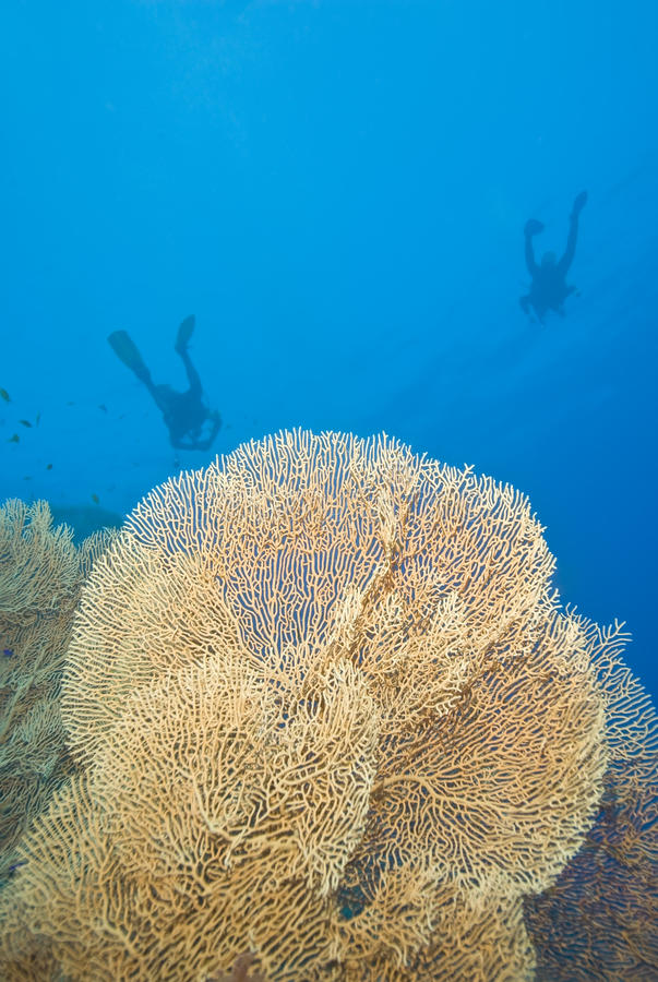 Free Gorgonian Fan Corals With Scuba Divers. Royalty Free Stock Photography - 16203627