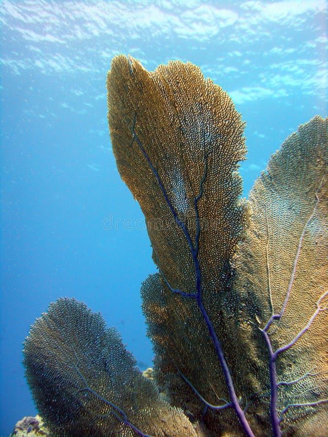 gorgonian hav för ventilator arkivfoto