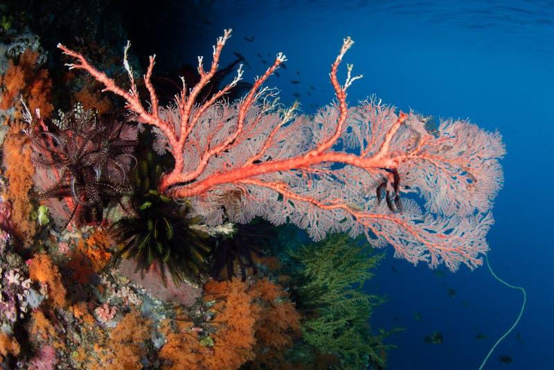 Gorgonian na rafie koralowa obrazy stock