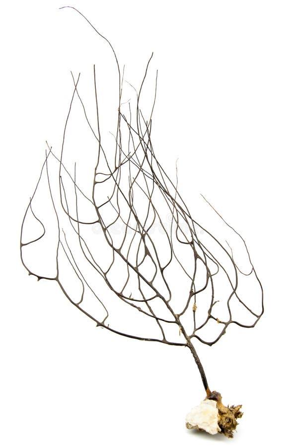Gorgonian ou corail de fan de mer d'isolement sur le fond blanc image libre de droits