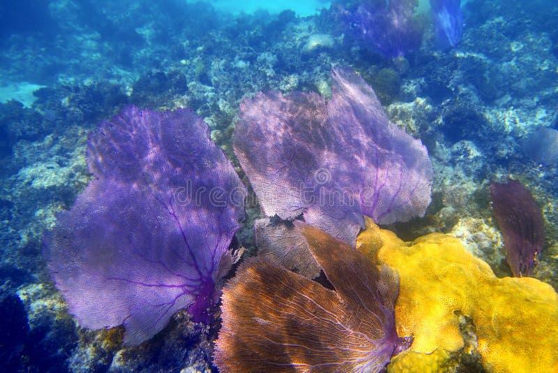 gorgonian purpurt hav för korallventilator arkivfoto