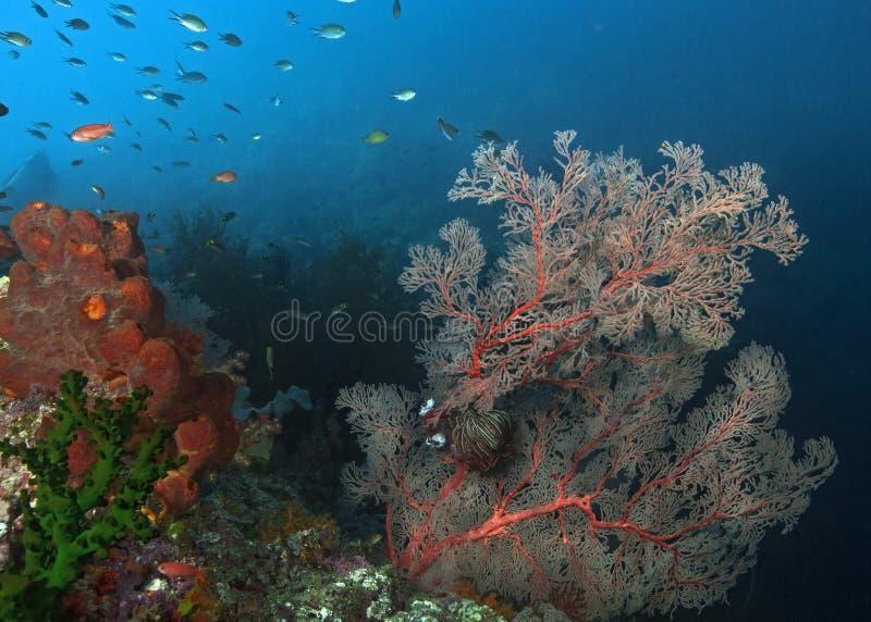 Gorgonian seafan benägenhet i en styv havström royaltyfria bilder