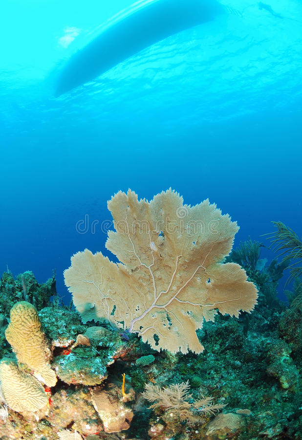 Gorgonian underwater royalty free stock images