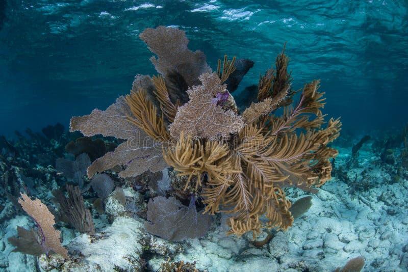 Gorgonians in mar dei Caraibi fotografie stock libere da diritti