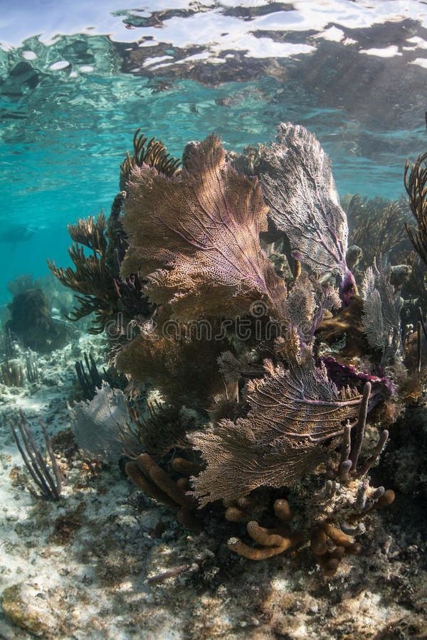 Gorgonie basse in mar dei Caraibi immagine stock