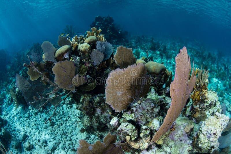 Gorgonie e coralli Scogliera costruzioni nei Caraibi fotografia stock libera da diritti