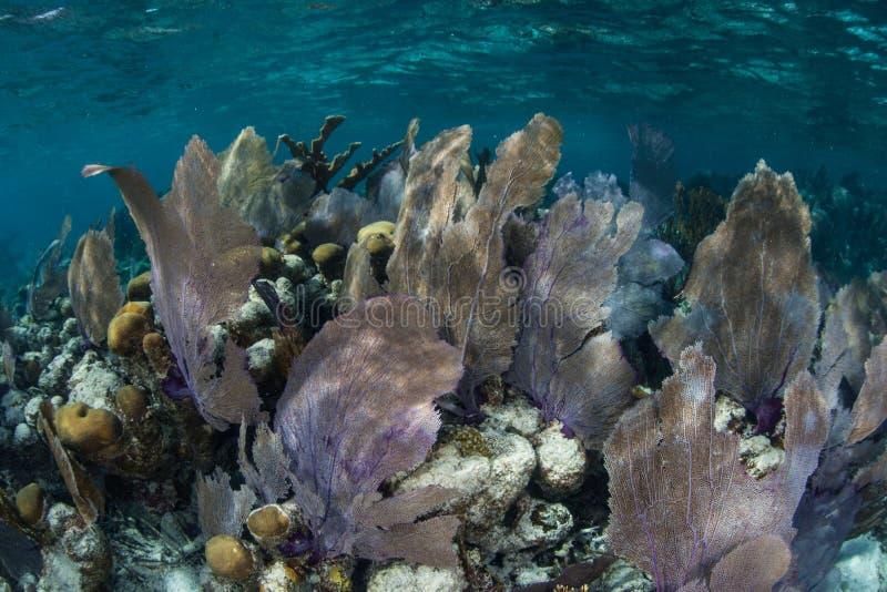 Gorgonie in mar dei Caraibi fotografia stock