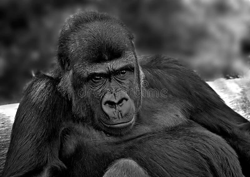 Gorila 1 foto de stock royalty free