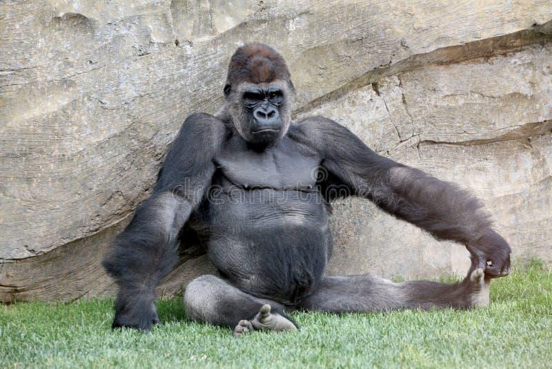 Gorila fotografia de stock royalty free