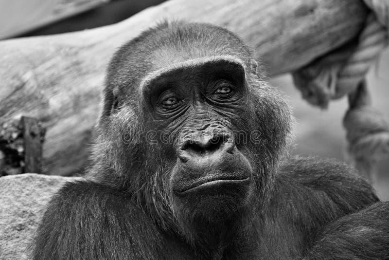 Gorila стоковое фото rf