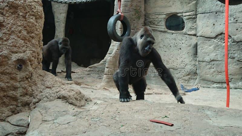 Gorila zdjęcia stock
