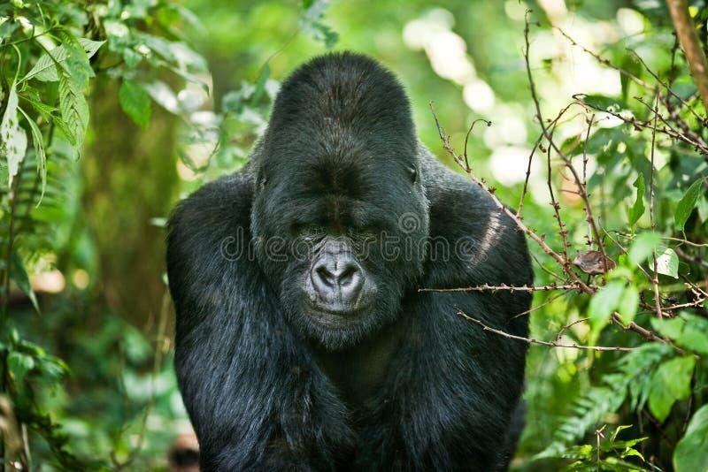 Gorila fotos de archivo