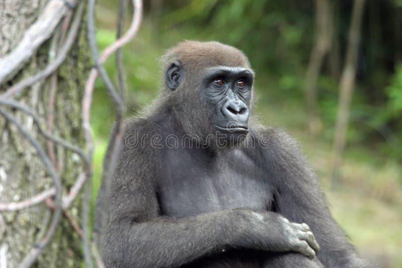 Download Gorila imagem de stock. Imagem de furry, criatura, esperto - 526529