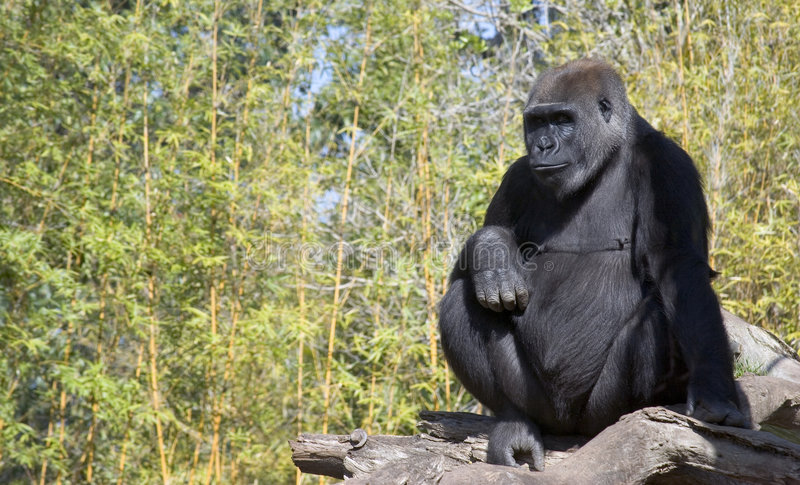 Download Gorila imagem de stock. Imagem de mamíferos, gorillas, gorilla - 535885