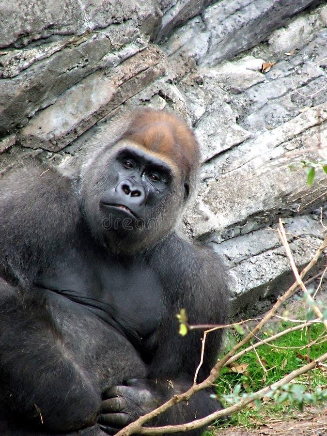 Download Gorila foto de stock. Imagem de esperto, macho, gorilla - 539228