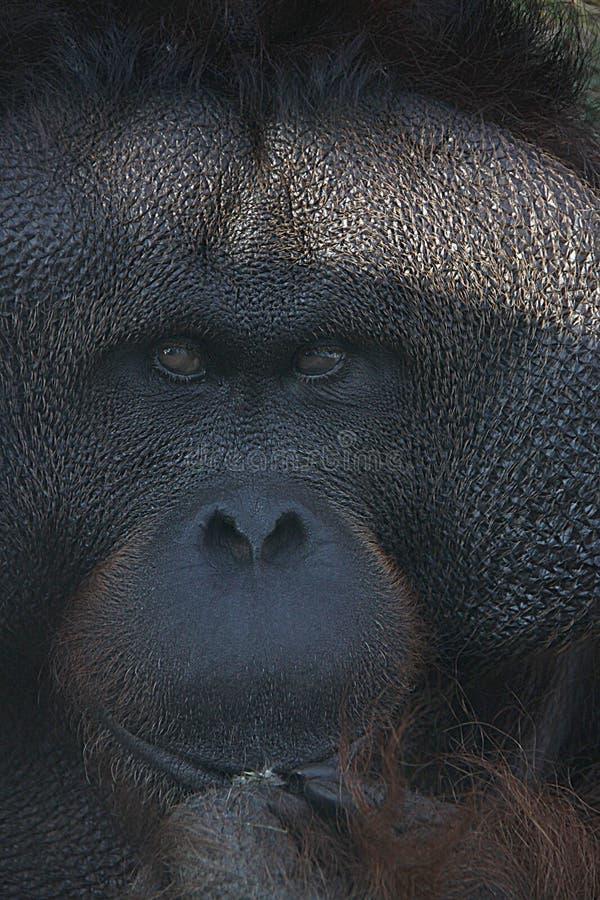 Gorila fotografie stock