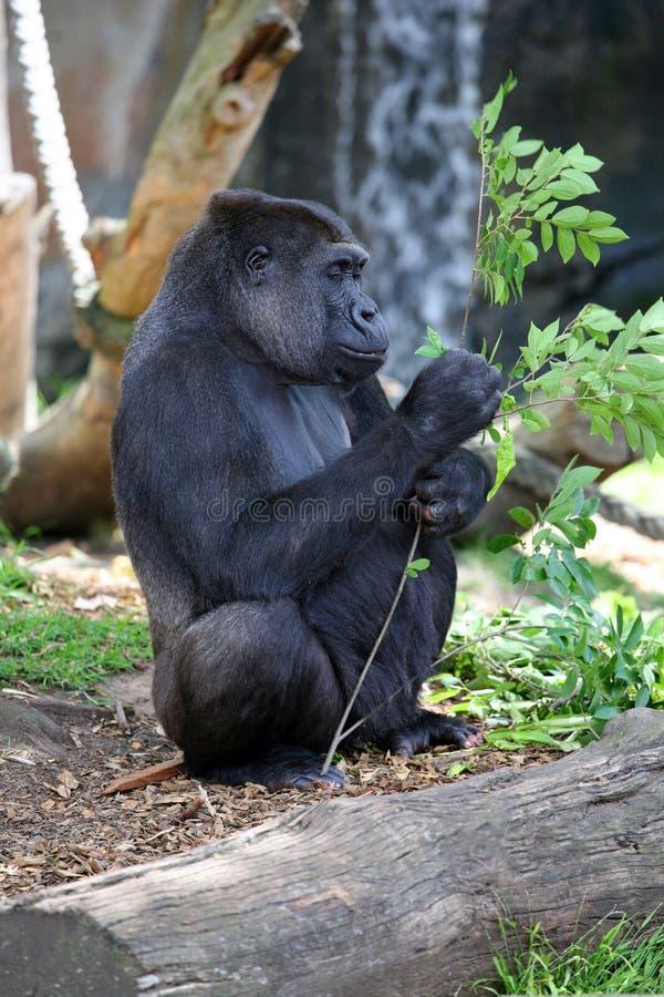 Gorila adulto fotografia de stock