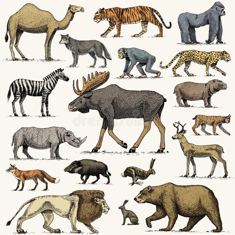 Gorila, alces dos alces ou do eurasian, camelo e cervos, rinoceronte a lebre, o lobo e o urso com leão e tigre gravaram a mão tir ilustração stock