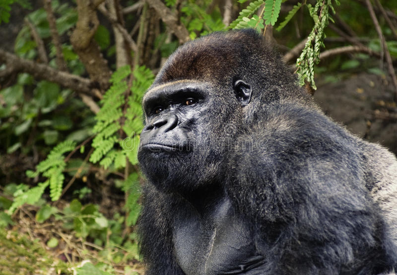 Gorila ao ar livre imagens de stock