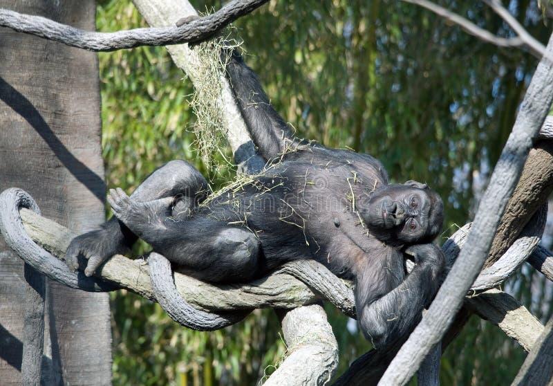 Gorila brincalhão foto de stock
