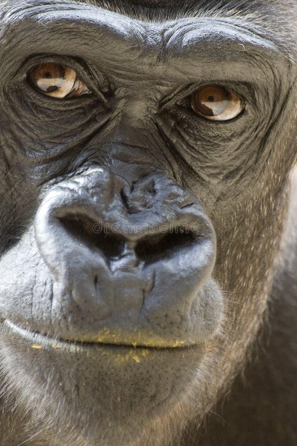 Gorila con el labio sucio fotos de archivo