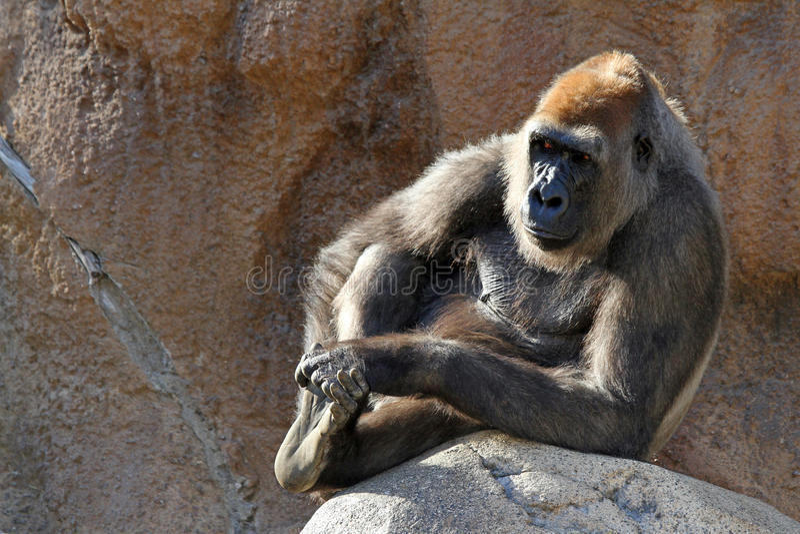 Gorila de descanso imagem de stock royalty free