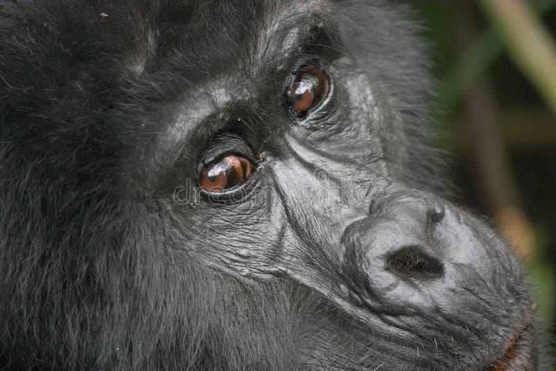 Download Gorila de montaña del este foto de archivo. Imagen de conservación - 1285356