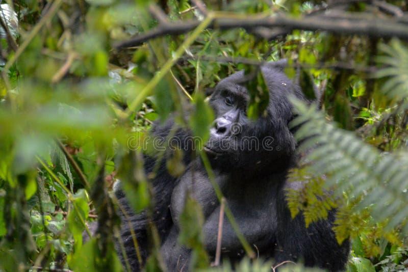 Gorila de montaña del Silverback que enarbola a través de las ramas en el parque nacional impenetrable de Bwindi fotografía de archivo