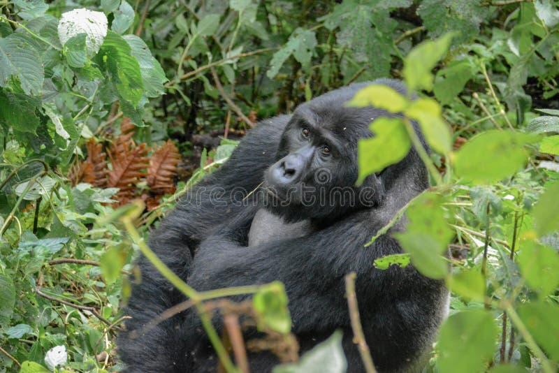 Gorila de montaña del Silverback que reflexiona el cielo en el parque nacional impenetrable de Bwindi imagenes de archivo