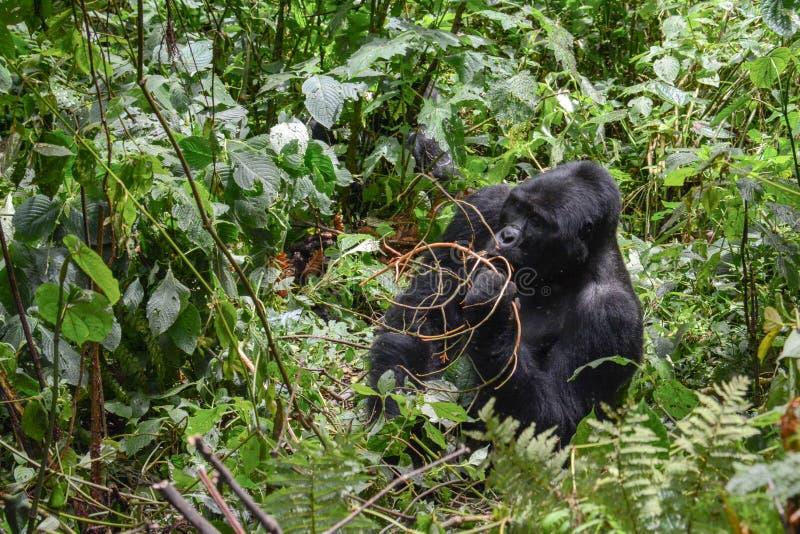 Gorila de montaña del Silverback snacking en algunas ramas para el almuerzo en el parque nacional impenetrable de Bwindi fotos de archivo libres de regalías
