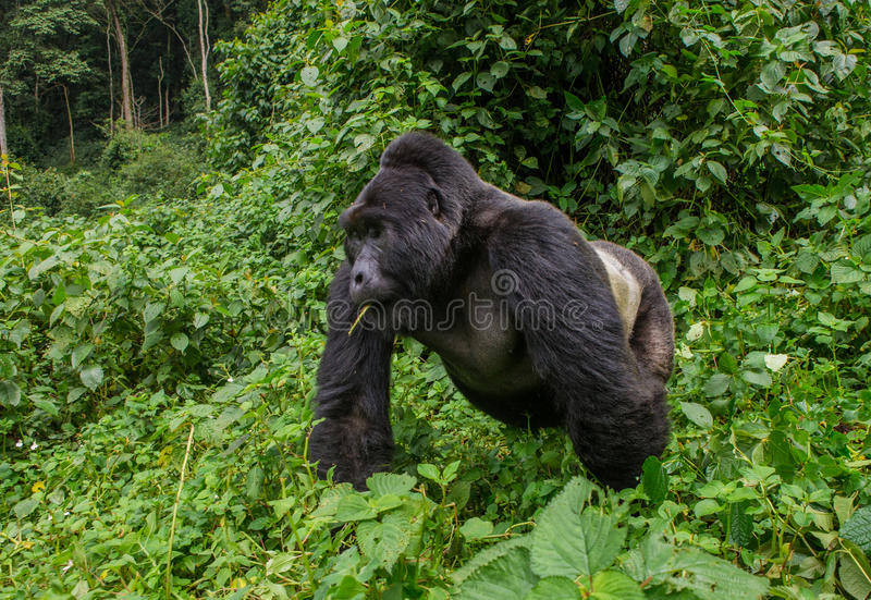Gorila de montaña masculino dominante en la hierba uganda Bwindi Forest National Park impenetrable imagen de archivo