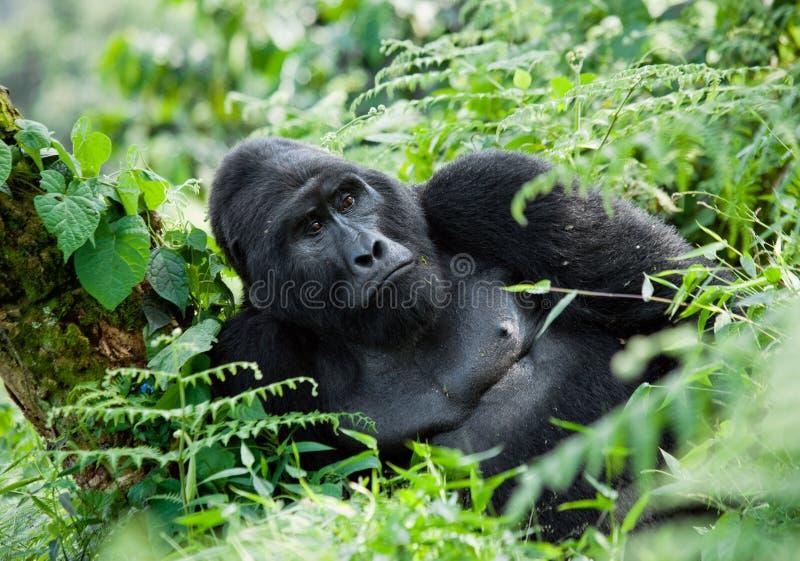 Gorila de montaña masculino dominante en la hierba uganda Bwindi Forest National Park impenetrable fotografía de archivo libre de regalías
