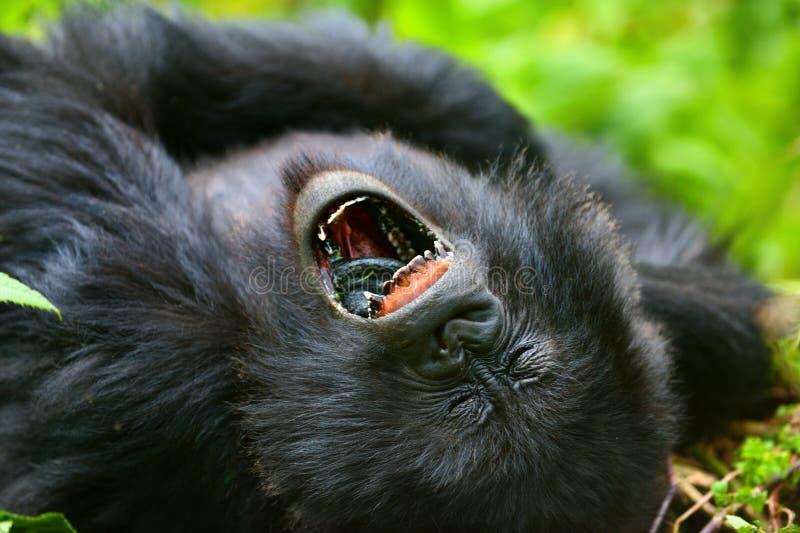 Gorila de montanha fotografia de stock