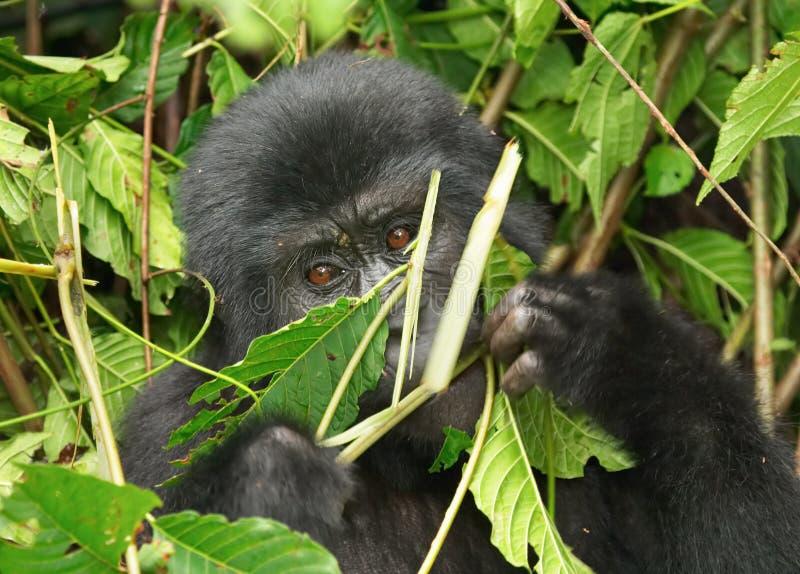 Gorila de montanha imagem de stock
