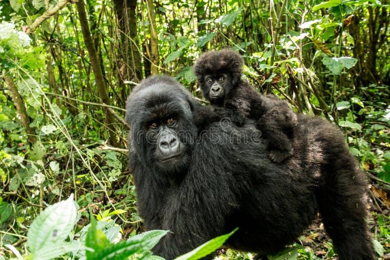 Gorila de montanha com um bebê fotos de stock royalty free