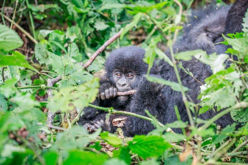 Gorila de montanha do bebê que mastiga em uma vara fotografia de stock