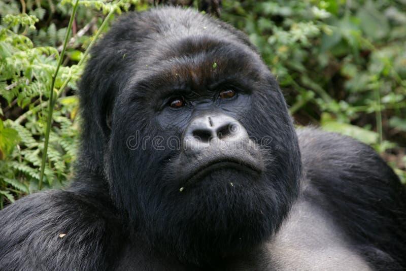 Gorila de montanha do Silverback fotografia de stock