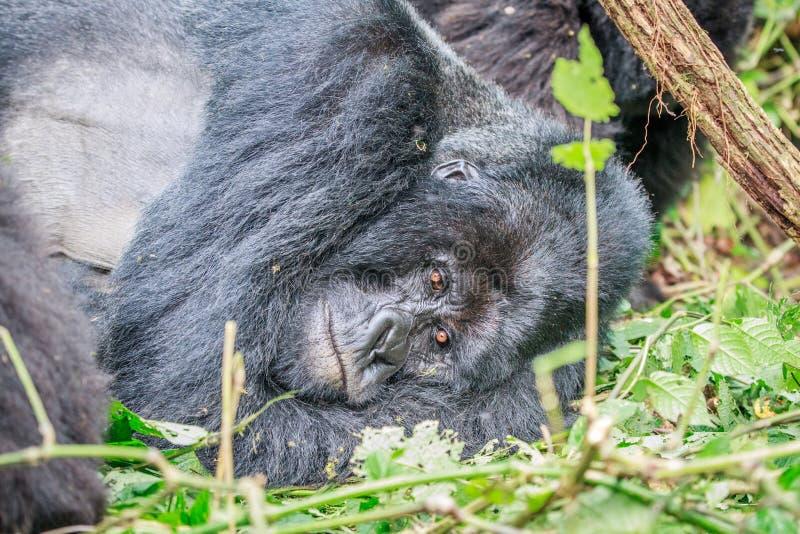 Gorila de montanha do sono foto de stock