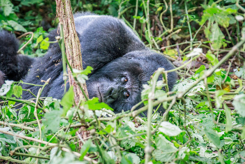 Gorila de montanha do sono fotografia de stock royalty free
