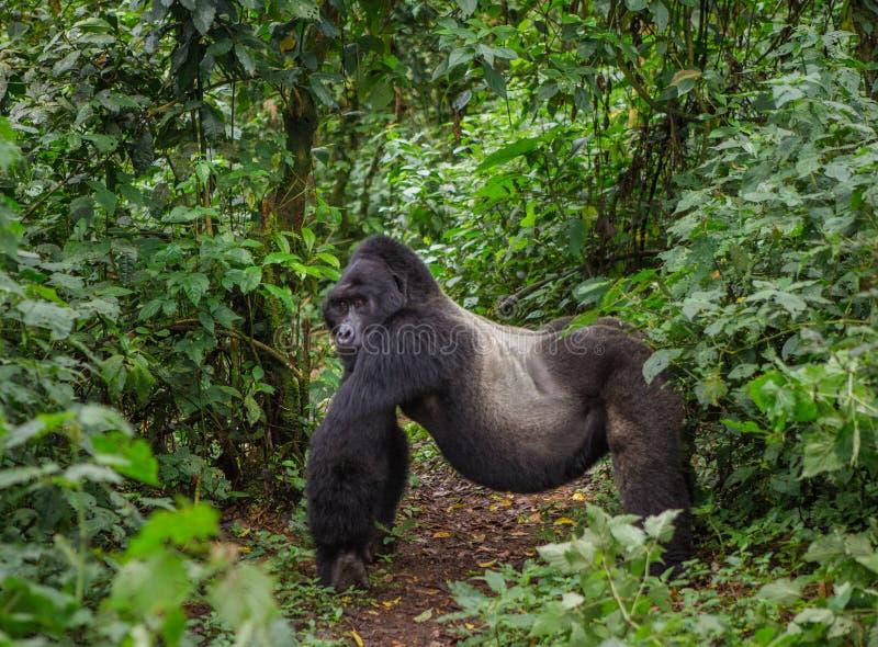 Gorila de montanha masculino dominante na floresta úmida Uganda Bwindi Forest National Park impenetrável foto de stock