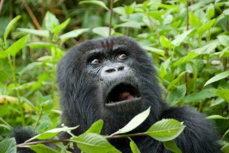 Gorila de montanha no parque nacional do vulcão (Rwanda) fotografia de stock