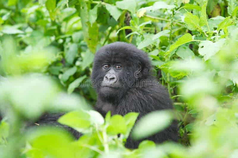 Gorila de montanha novo imagens de stock royalty free