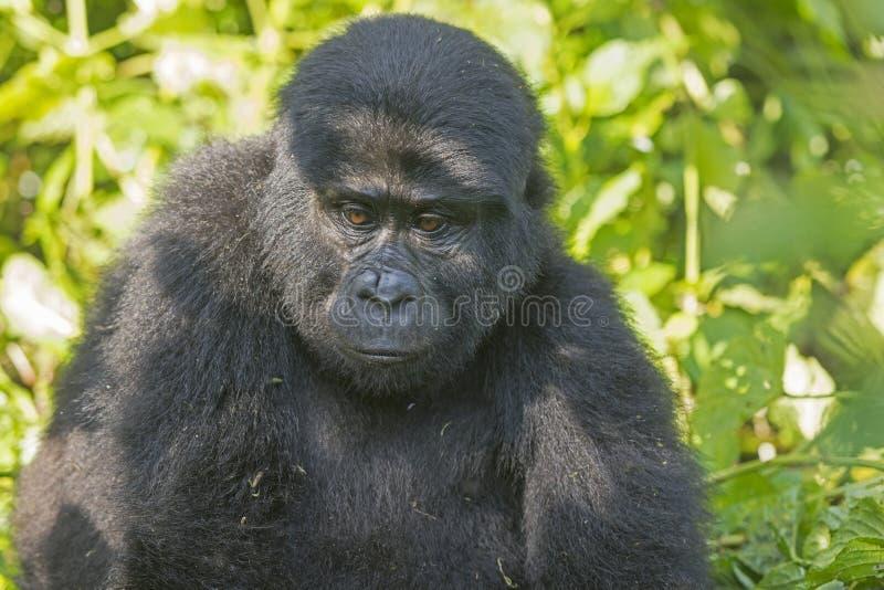 Gorila de montanha novo na floresta imagem de stock royalty free