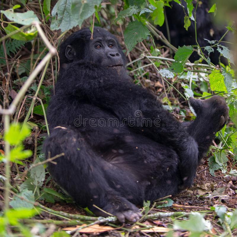 Gorila de montanha novo no Bwindi Forest National Park impenetrável imagem de stock royalty free