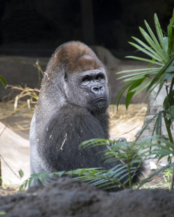Gorila de planície ocidental fotografia de stock royalty free