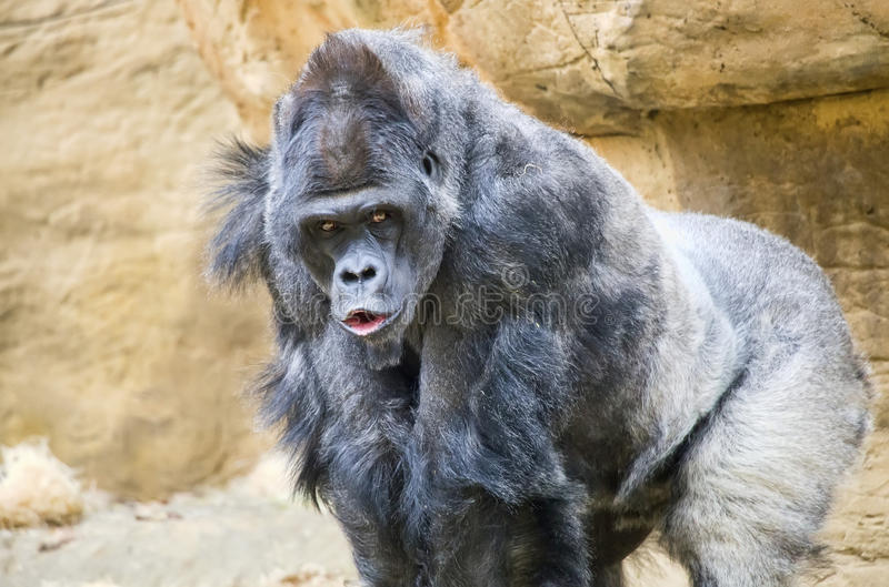 Gorila de planície ocidental de Silverback fotos de stock royalty free